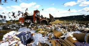 Birds scavenging for food amidst the debris at the Danbury Landfill. 1991.