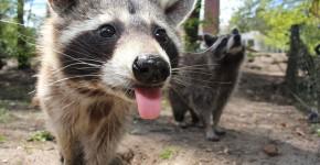 raccoon-750394_960_720